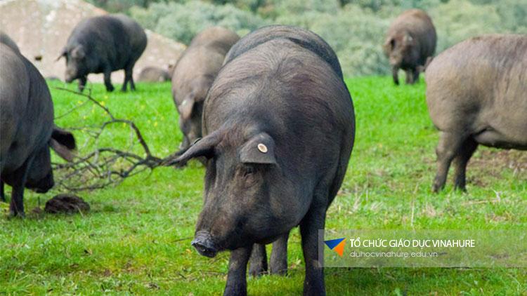 Thịt lợn muối Tây Ban Nha. Ảnh: Internet